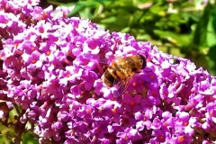 The Bee's favourite Buddleia